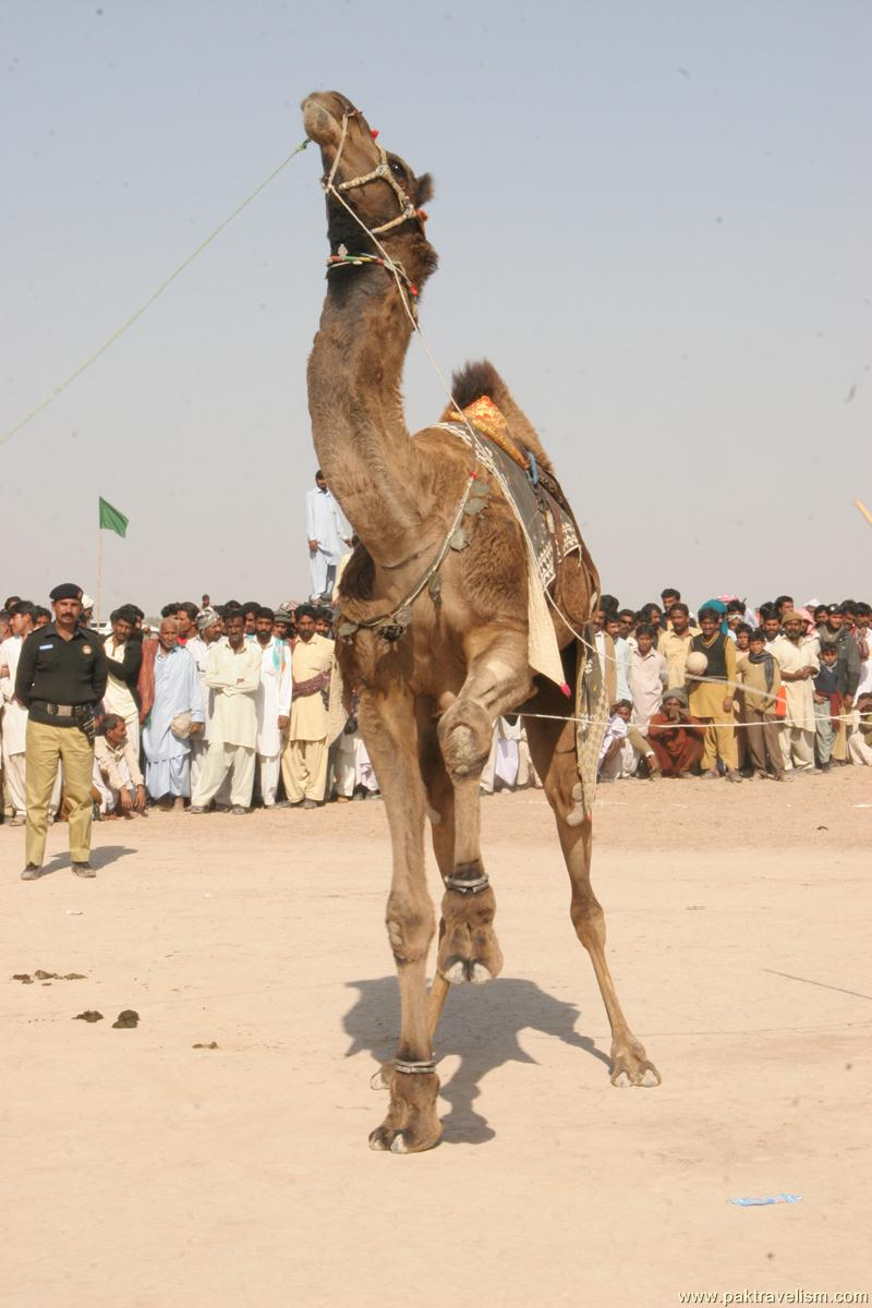 Camel Dance, Cholistan